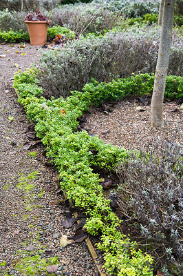 The Knot Garden, newly planted with Ilex crenata to replace diseased box plants, features standard Prunus lusitanica, Portugese laurels, and herbs including Nepeta racemosa 'Walker's Low', sage and lavender.