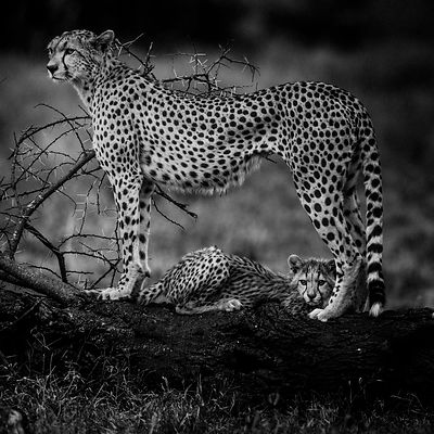 Cheetah mum with its cub, Tanzania 2015 © Laurent Baheux