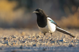 Black-billed Magpie in Wild Rivers Area of Rio Grande del Norte National Monument
