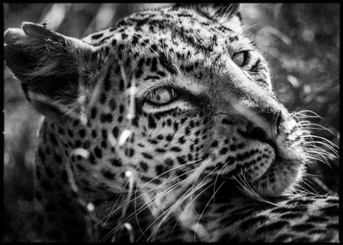 2179-Amazing_leopard_looking_at_us_Laurent_Baheux