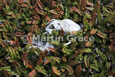 Skull of a sheep with Small Fern (Blechnum penna-marina) growing round and through it, Saunders Island, Falkland Islands