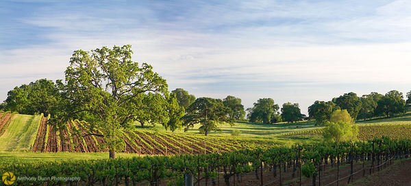 Oak tree in vineyards, Shenandoah Valley