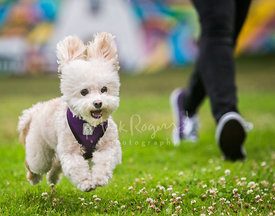 White Maltese Dog Running Happily in Grass Next to Person in Purple Shoes