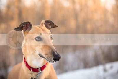headshot of alert fawn dog with minimal background