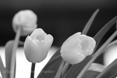 HR-WhiteTulips-8455