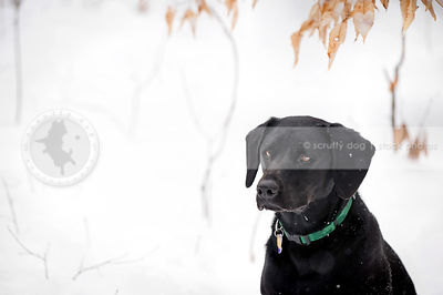 handsome black dog sitting in snow and leaves