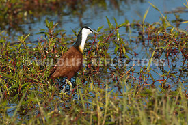 jacana_walking_1