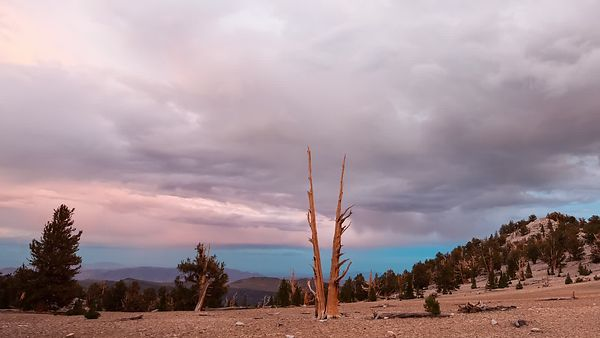 Medium Shot: Purple & Aqua Marine Storm Clouds Over Bristlecone Trees Atop of the White Mountains