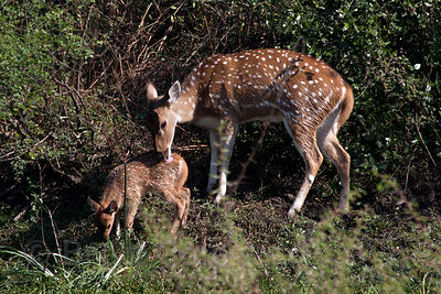 Spotted deer (Axis axis), Keoladeo National Park, Bharatpur, India