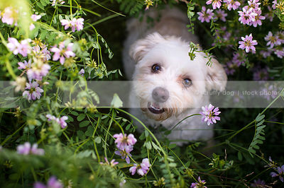 small cute white dog staring upward from flowers