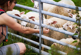 A hiker petting lambs on a farm in the Northumberland countryside.