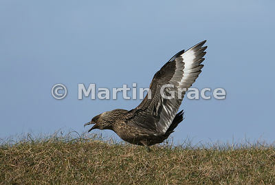 Great Skua (Bonxie) (Stercorarius skua, Catharacta skua) proclaiming its claim to territory, Hermaness National Nature Reserve, Unst, Shetland