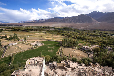 View of barley harvest on a farm along the Indus River from Spituk Gompa, Leh, Ladakh, India