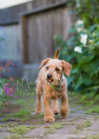 Scruffy Terrier Mix Puppy Walking Down Path in Garden with Mouth Open