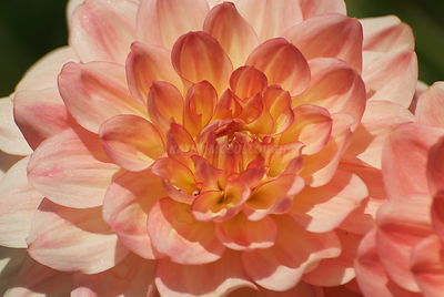 Dahlia  light orange