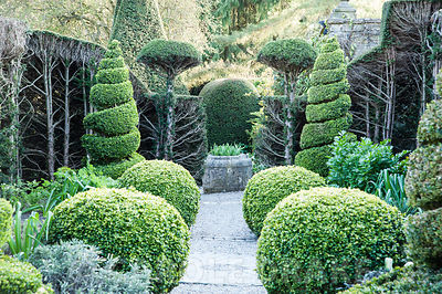 Clipped box and yew topiary in the Herb Garden, where overgrown yew hedges are resprouting after being cut back the previous year. York Gate Garden, Adel, Leeds, Yorkshire