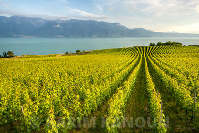 Lines of green vineyards - Lavaux wineries