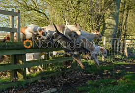 Hounds jumping a hunt jump in Pickwell