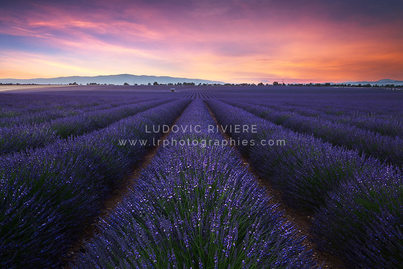 photo coucher de soleil sur les champs de lavande valensole lr photographies photographe. Black Bedroom Furniture Sets. Home Design Ideas