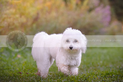 small white groomed havanese dog walking in park grass