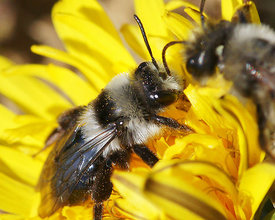 Andrena cineraria on Taraxacum species