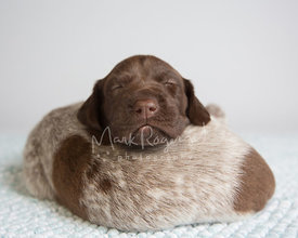 German shorthaired pointer puppies sleeping on top of each other