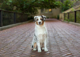 Grinning Australian Shepherd Puppy Sitting on Brick Pathway