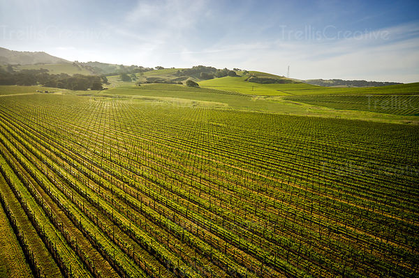 Aerial view of springtime in the napa valley vineyards.