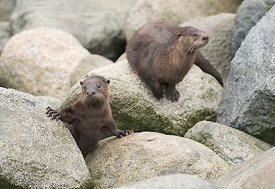 August - River Otters
