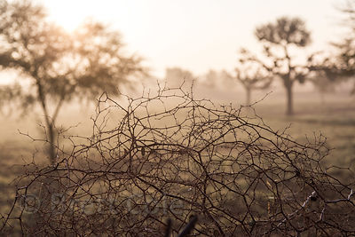 Tumbleweed and acacia trees at sunrise in the desert, Chachiyawas village, Rajasthan, India