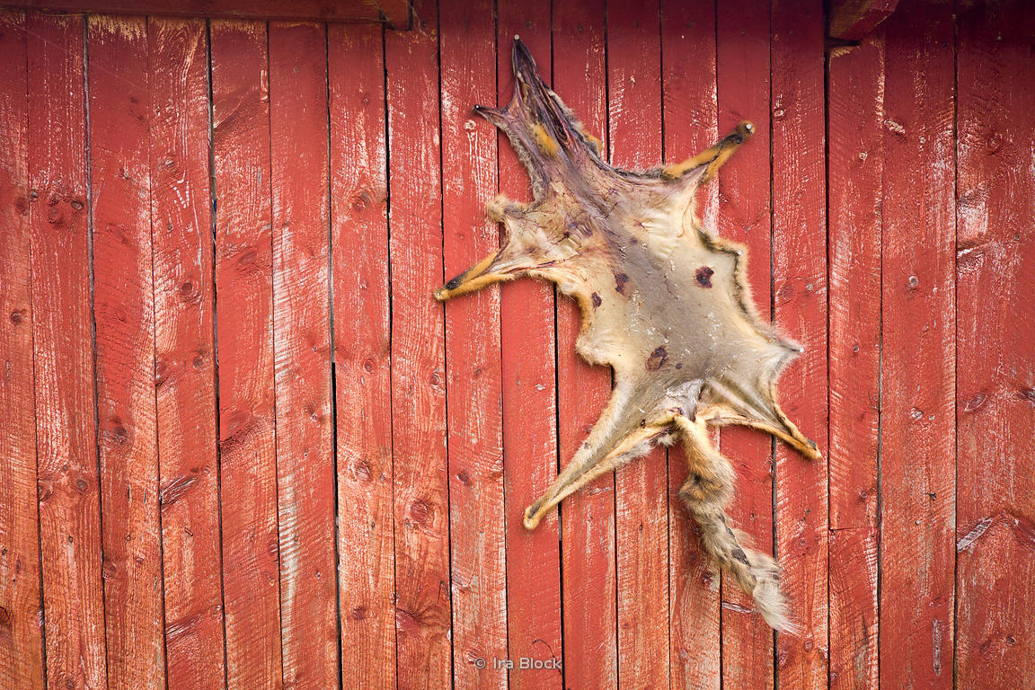 A fox skin hanging on a wall of a shed near Hellemobotn Fjord, Norway.