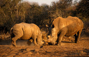 White rhinoceros fighting (Ceratotherium simum), Hlane Royal National Park, Swaziland
