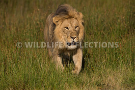 lion_male_walk_grass_02202015-5