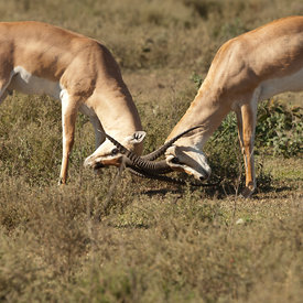 Grant's Gazelle wildlife photos