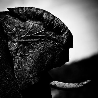 1794-The_ear_of_elephant_is_like_a_leave_Laurent_Baheux