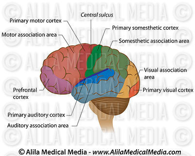 Functional areas of the brain, labeled diagram.