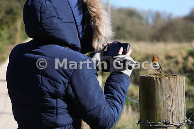 Confiding European Robin (Erithacus rubecula) posing to be photographed on a mobile phone by a visitor to Leighton Moss (RSPB), Lancashire, England