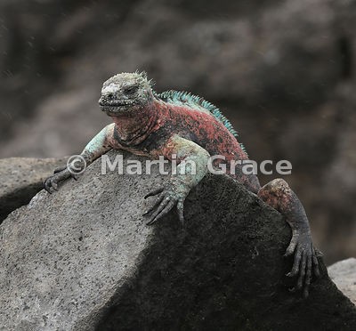 Rather fed-up-looking male Marine Iguana (Amblyrhynchus cristatus venustissimus) sits out a rain flurry, Punta Suarez, Espanola, Galapagos. Streaky raindrops are visible in the air.