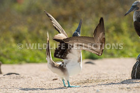 blue_footed_booby_north_seymour-59