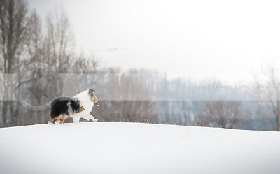 longhaired tricolor dog walking alone on ridge in winter setting