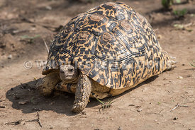 leopard_tortoise_close_02172015-3