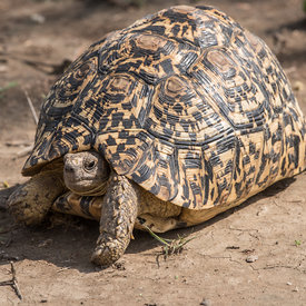 Tortoise, Leopard wildlife photos
