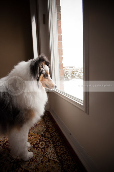 fluffy tricolor merle dog looking out window at home indoors