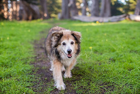 Senior Mixed Breed Dog Walking Down Path in woods