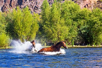 Horse Stallions Chasing Each Other in Water