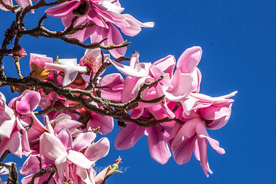 Magnolia in bloom
