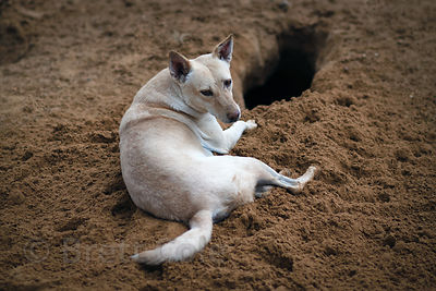 A dog guards his hole waiting for critters to emerge, Pushkar, Rajasthan, India