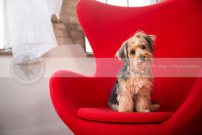 curious little yorkie cross breed dog sitting in red chair in studio indoors