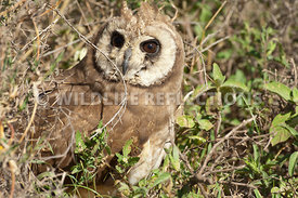 african_marsh_owl_brushy_hideout_1