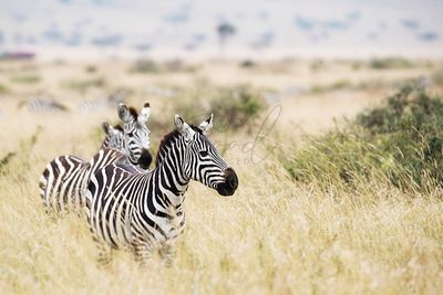 Zebra in Kenya Looking to Side With Copy Space